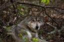 Wolf Conservation Center_20111008_0043